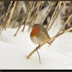 Het roodborstje op één pootje in de sneeuw.