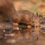 Drinkende eenkhoorn