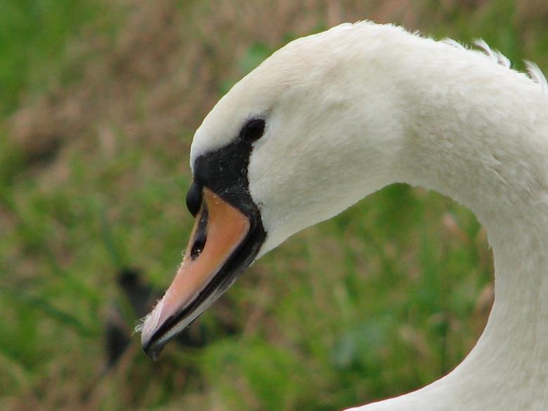 vrije zwaan - Beter een vrije zwaan dan een gevangen buizerd, .....<br /> zie vorige upload (is daar geen beter, Nederlands, woord voor