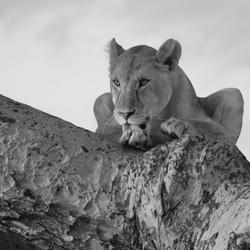 Black white lion.jpg