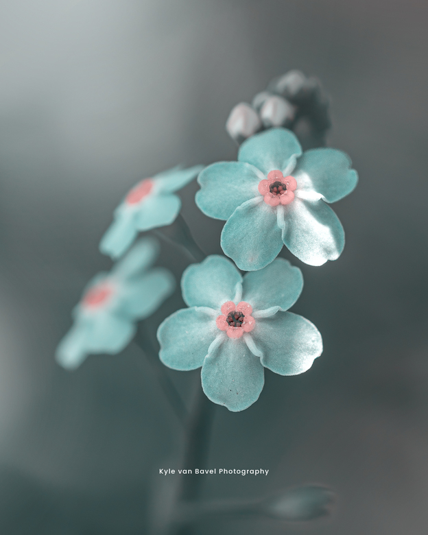 Forget me not - Forget me not. This flower is reminding me to not forget flowers during winter and during lockdown.
