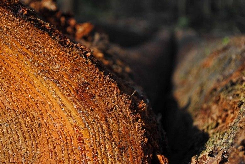 Boomstammen - Dezelfde boomstammen als op het vorige plaatje.<br /> Boswachterij Dorst