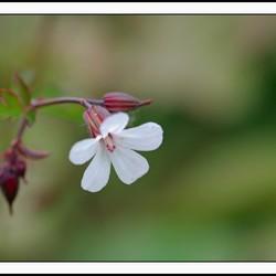 wit bloempje uit rode knop