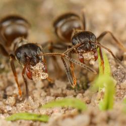 Twee mieren met zandkorreltjes