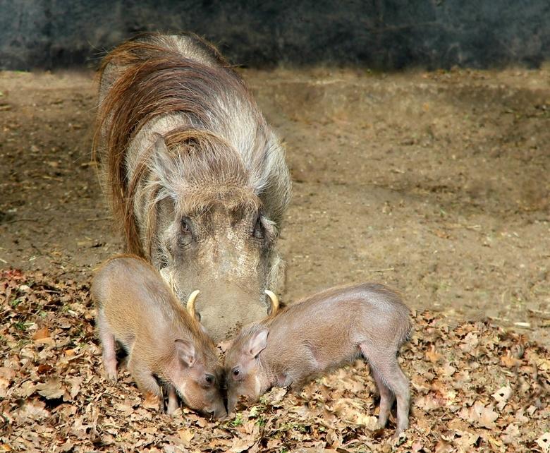 Wrattenzwijnen - Ouwehands dierenpark