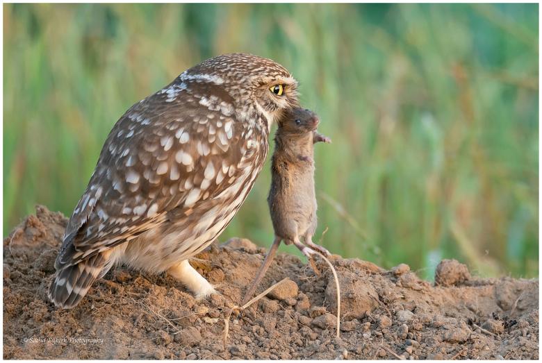 Ontbijt - De steenuil was er al vroeg op de dag bij om een muis te vangen voor zijn jongen