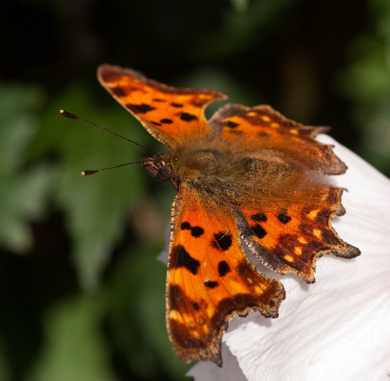 aurelia - deze gehakelde aurelia vloog door de tuin toch wel een van de mooiere vlinders om te zien