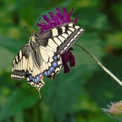 Papilio machaon..