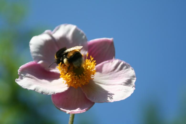 Hommel op herfstanemoon - Deze hommel bleef even zitten op de bloem van de herfstanemoon. Genomen met +3 voorzetlens.