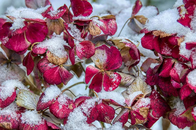 Sneeuw in Joure - Vandaag lag er sneeuw in Joure en maar snel even erop uit. Deze hortensia zat mooi onder een sneeuw laagje.<br /> <br /> Groet <a