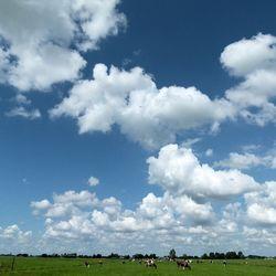 Koeien en stapelwolken