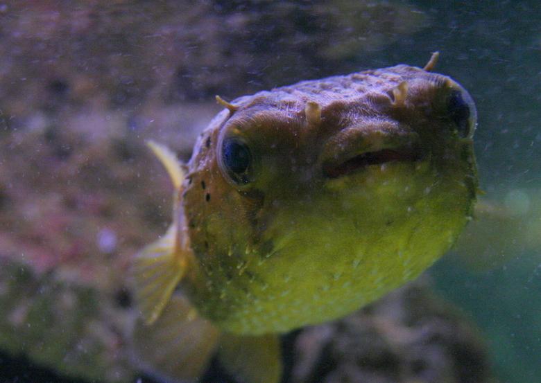 Fugu - Echt *verschrikkelijk* moeilijk te fotograferen deze kogelvis die in een mooi aquarium zat in de Antwerpse Zoo. Het was nogal een low-light omg