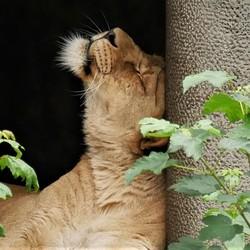 Tevreden leeuwin