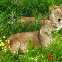 De leeuwinnen van Wildlands