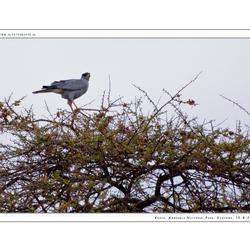 Pale Chantig Goshawk, Kenia