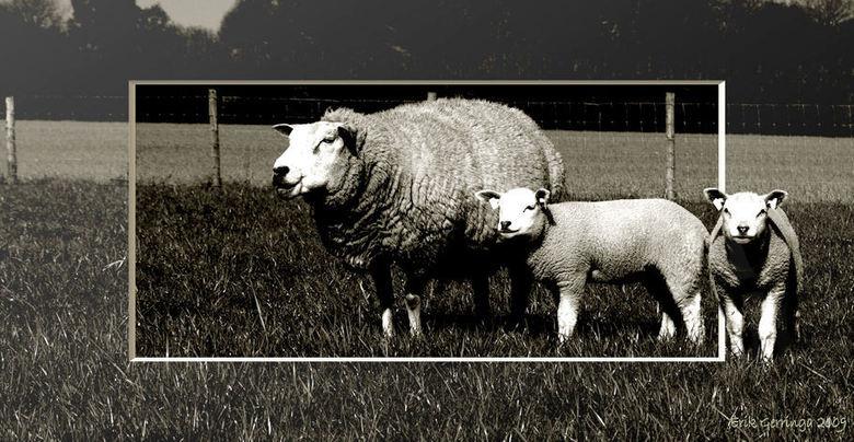 het zwarte schaap -