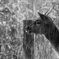Damhert regen (309 van 1)