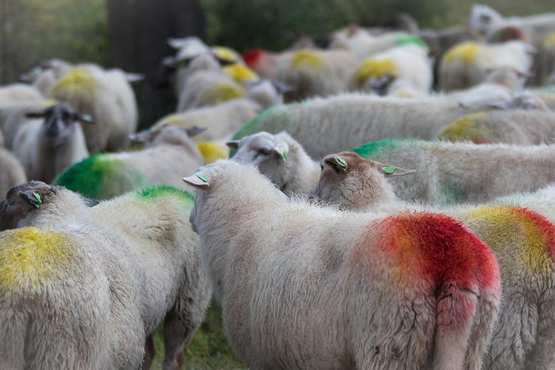 Weinig privacy ... - Het laat weinig te raden over welke ram welke ooi heeft gedekt. Handig voor de herder, maar of de schapen er zelf ook blij mee zi
