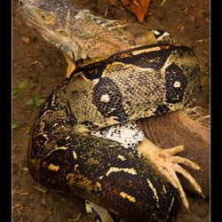 Iguana for dinner part I