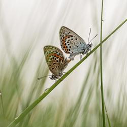 parende vlindertjes