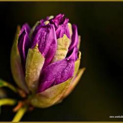 Ontluikende Rhododendron_DSC0753