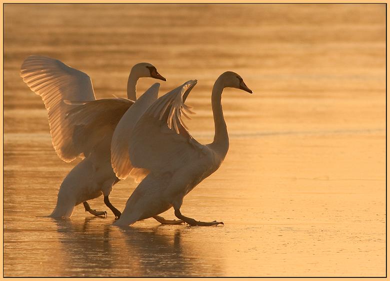 Knobbelzwanen in tegenlicht! - Gisteren langs de IJssel geweest om te fotograferen. Daar zag ik smorgens een grote groep Knobbelzwanen op het ijs. Wil
