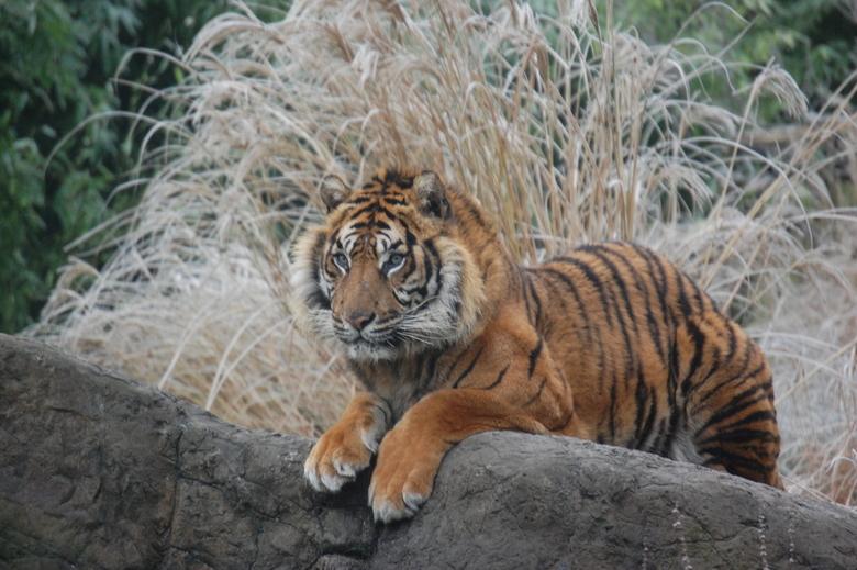 Kijk mij is erg mooi zijn - De steen waar de tijger op ligt is lekker verwarmd. En hij is zo aaibaar!!!