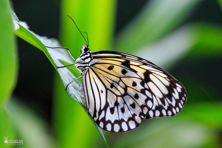 Idea leuconoe - De Idea leuconoe is een grote vlinder uit de familie Nymphalidae. Deze vlindersoort komt voor in de dichte regenwouden van zuidelijk C