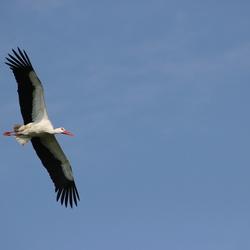 Ooievaar in vogelvlucht