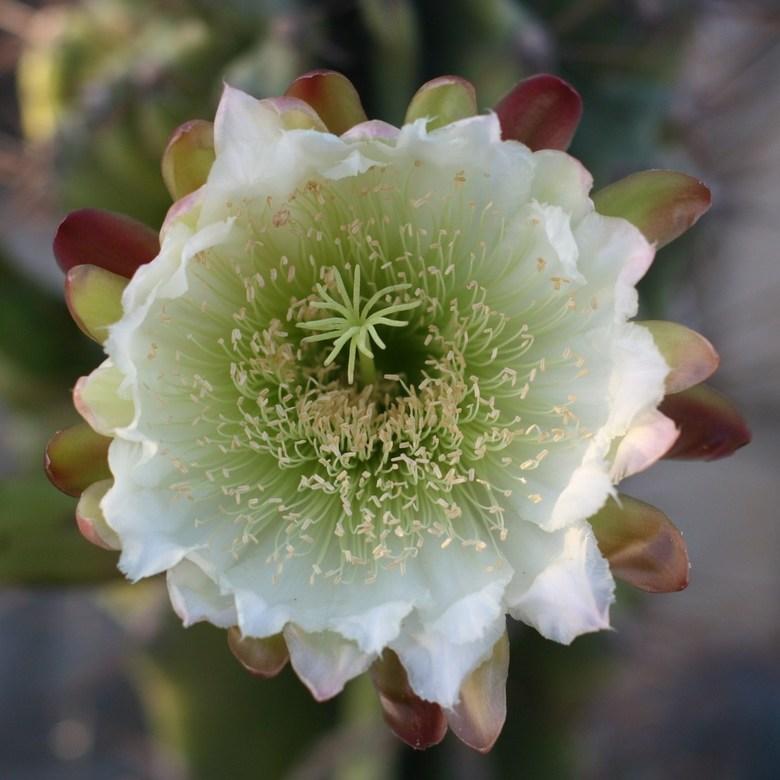 cactusbloem - na jaren bloeide deze enorme cactus in Kreta, maar, maar 1 dag.