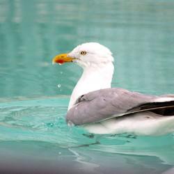 Waar zeehonden zijn....is vis...