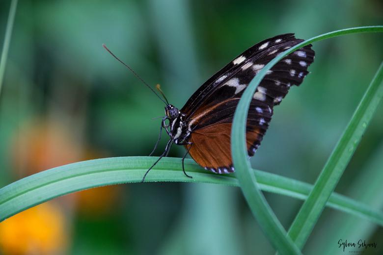Vlinder 2 -