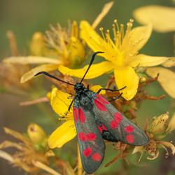 Sint-Jan's vlinder