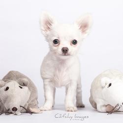 Gigi - Chihuahua pupje 10 weken