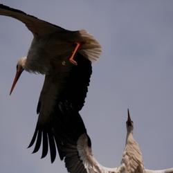 Ooievaars nest gevecht