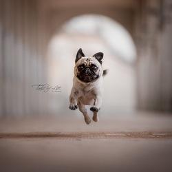 Flying Pug!