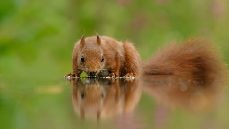 Drinkende eekhoorn -