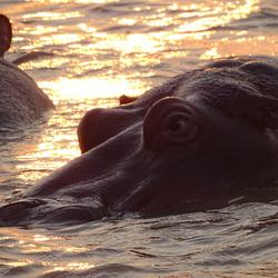 Door het oog van een hippo