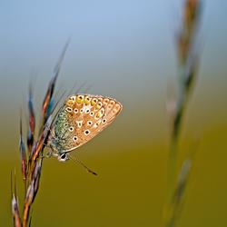 Icarusblauwtje 3