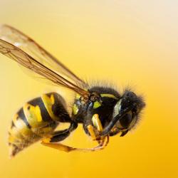 De gevreesde wesp