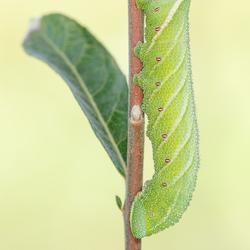 Pauwoogpijlstaart - Smerinthus ocellatus