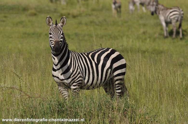 Wat is een zebra toch attent! - Tijdens onze reis in Kenia en Tanzania kwamen we er achter dat zebra's en gnoes vaak samen zijn. De reden hiervan