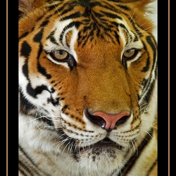Bengaalse tijger thailand