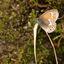 Coenonympha tullia...