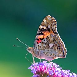 LvdAa - vlinders - Distel vlinder - 1702 W35 2019 Best Thuis