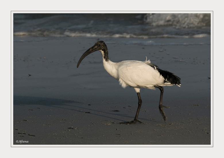 Heilige Ibis - Vroeg in de ochtend gingen wij naar het strand op zoek naar strandvogels. Tot onze verbazing troffen wij daar een grote groep Heilige I