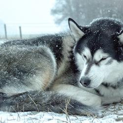 Siberian Husky in de sneeuw
