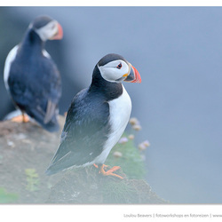 On puffin watch