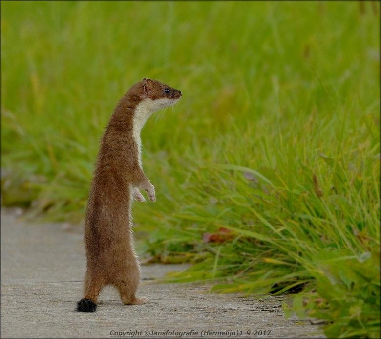 Hermelijn - op een regenachtige dag ging ie mooi recht op om te zien wat er in de omgeving te beleven viel .gr jans.<br /> De hermelijn is een klein