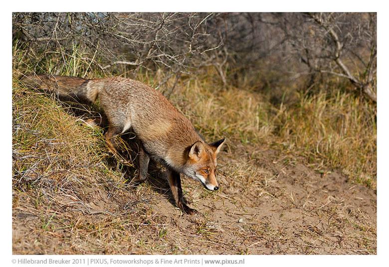Vos - Deze vos kwam tussen de duindoorns vandaan. Prachtig om ze zo van dichtbij te kunnen zien.
